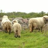 Schafe-537